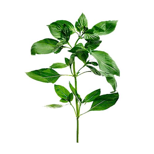 Tree Basil Oil